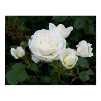 Rosas blancos
