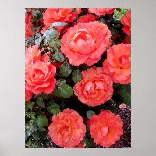 Rosas coralinos posters