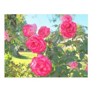 Rosas de Arizona Tarjeta Postal