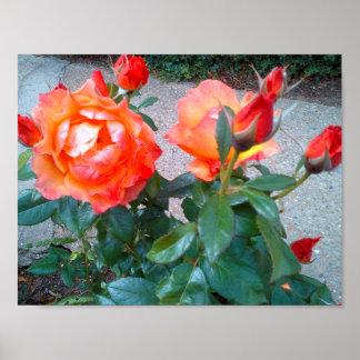 Rosas de Beautifu papel de poster de 11 x 8,5