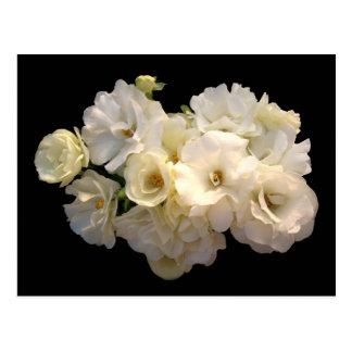 Rosas de bebé blancos postal