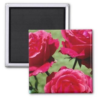 Rosas de color rosa oscuro imán cuadrado