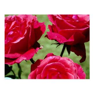 Rosas de color rosa oscuro postales