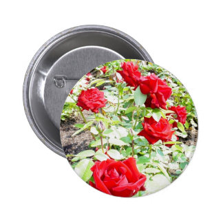 Rosas de Ingrid Bergman Pins
