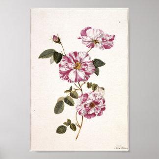 Rosas elegantes lamentables póster