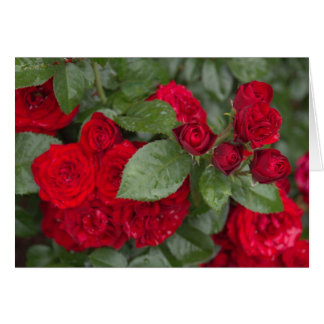 Rosas en los jardines de Inniswood Tarjetas
