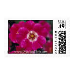 Rosas hermosos de color rosa oscuro sellos