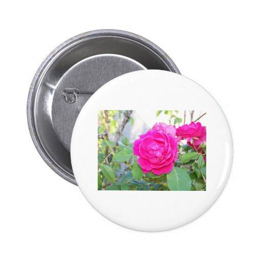 rosas pin redondo 5 cm