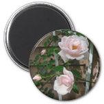 Rosas que suben rosados imán de frigorifico