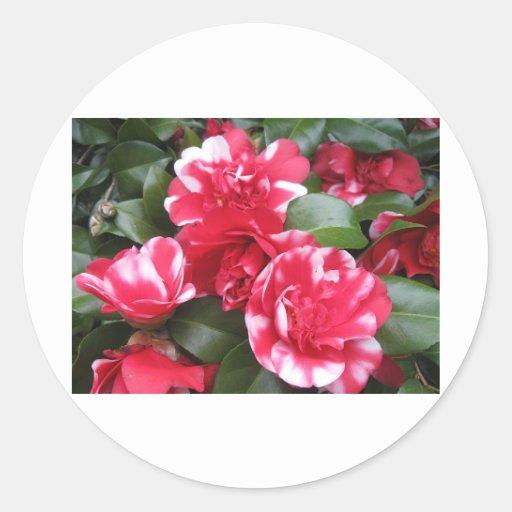 Rosas rayados rojos y blancos pegatina redonda