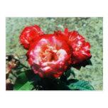rosas rojos #39 tarjeta postal