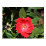Rosas rojos y magnolias de Georgia por el Postal