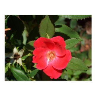 Rosas rojos y magnolias de Georgia por el Postales