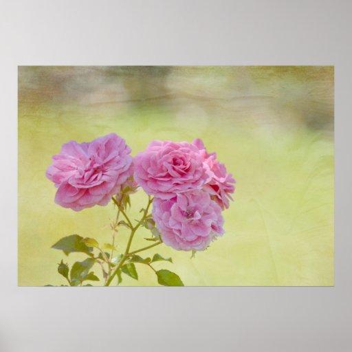 Rosas románticos del jardín poster
