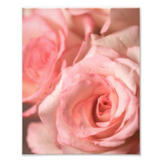 Rosas rosados cojinete