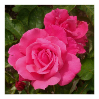 Rosas rosados dulces póster