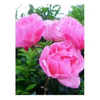 Rosas rosados gloriosos