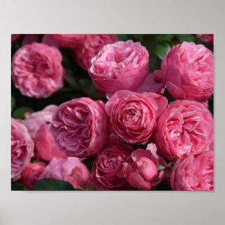Rosas rosados imponentes póster