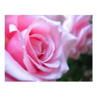 Rosas rosados postal
