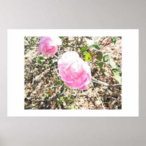 rosas rosados póster