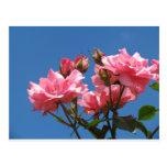 Rosas rosados tarjetas postales