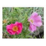 Rosas salvajes F0004 Postales