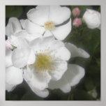 Rosas salvajes impresiones