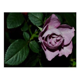 Rose-03 Post Card