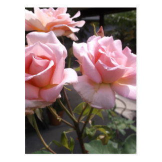 Rose #3 postcard