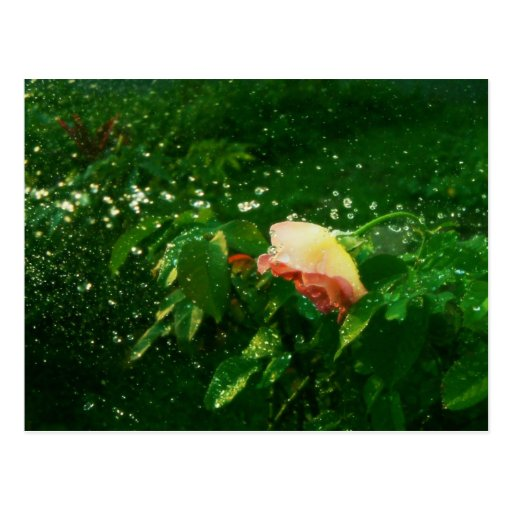 Rose and water spray postcard