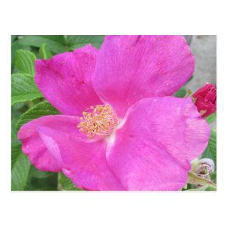 Rose Beach Plum Pink Postcard