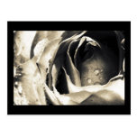 Rose, Black and White Macro Floral, Photography Post Card