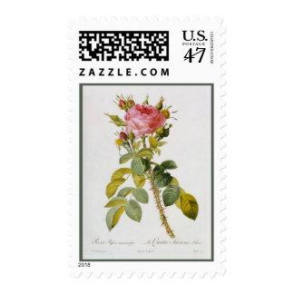 Rose Botanical Print Rosa Bifera by   Redoute Postage