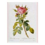 Rose Botanical Print - 'Rosa Bifera' by  Redoute Post Card