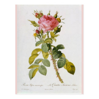 Rose Botanical Print - 'Rosa Bifera' by  Redoute Postcard