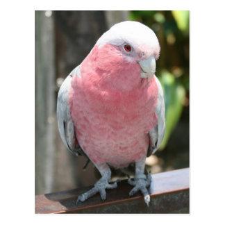 Rose Breasted Cockatoo photograph design Postcard