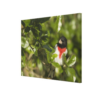 Rose-breasted grosbeak, Pheucticus Gallery Wrapped Canvas