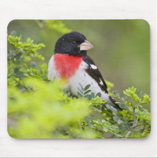 Rose-breasted Grosbeak Pheucticus Mouse Pad