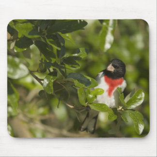 Rose-breasted grosbeak, Pheucticus Mouse Pad