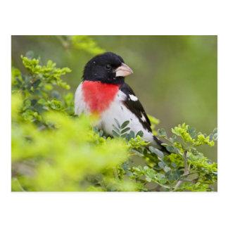 Rose-breasted Grosbeak Pheucticus Postcard