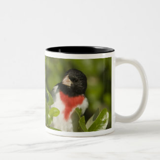 Rose-breasted grosbeak, Pheucticus Two-Tone Coffee Mug