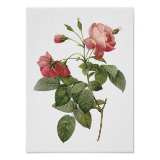 rose by Redouté Poster
