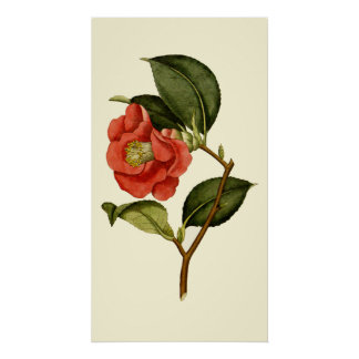 Rose Camellia Poster