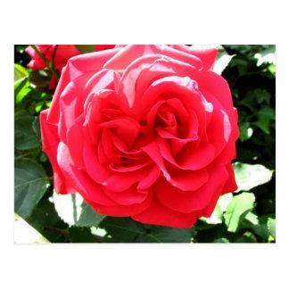 Rose, Cantinetta di Rignana, Greve, Italy Postcard