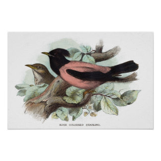 Rose coloured starling poster