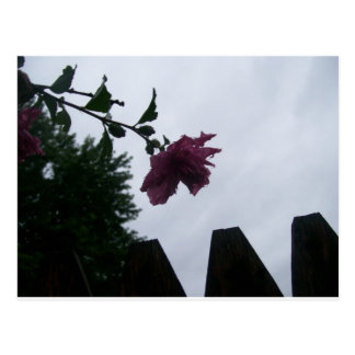 Rose dew fence gloomy postcard