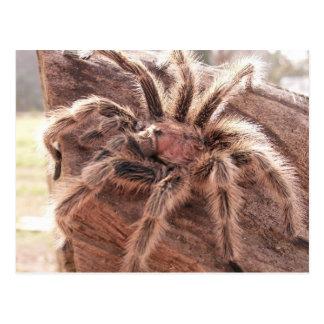 Rose Hair Tarantula Postcard