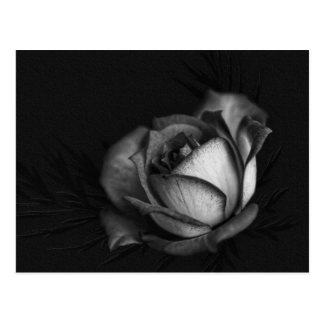 Rose in Black and White Postcards