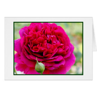 Rose in Full Bloom Card