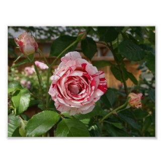 Rose in Variegated Colors Poster